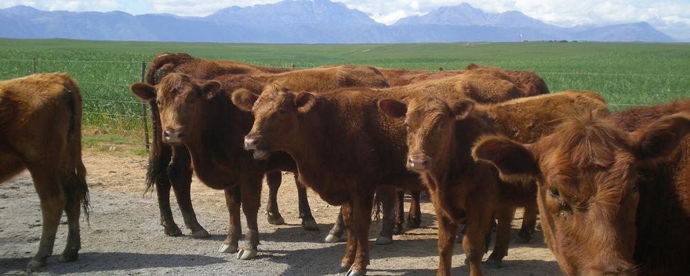Cattle (Angus)