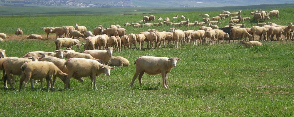 Sheep (SAVM)